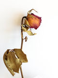 Dried roses. Because long stored Stock Photography