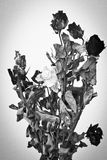Dried roses with monochrome Stock Photography