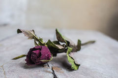 Dried roses represents a single Royalty Free Stock Image