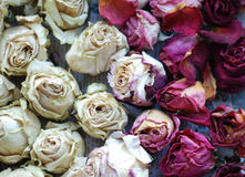 Dried roses. Romantic background of dried white and purple roses Royalty Free Stock Image