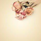 Dried roses stacking on white. Sepia toned Royalty Free Stock Photos