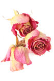 Dried roses. Three dried pink roses close-up isolated on white background. Shallow DOF, focus on front rose Stock Photography