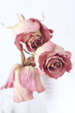 Dried roses. Three dried pink roses close-up on light background, not isolated. Shallow DOF, focus on front rose. Toned image Royalty Free Stock Photo