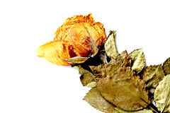 Dried roses. On a white background Stock Image