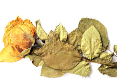 Dried roses. On a white background Royalty Free Stock Image