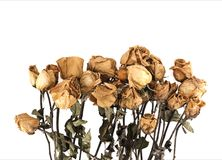 Dried roses on white background. Dried roses on a white background Royalty Free Stock Photos