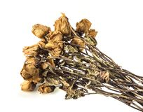 Dried roses on white background. Dried roses on a white background Stock Image