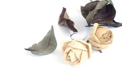 Dried roses on white background Stock Images