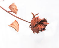 The dried roses on white isolate. Royalty Free Stock Images