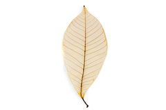 Dried rubber tree skeleton leaves Royalty Free Stock Photography