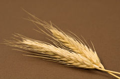 Dried rye Stock Image