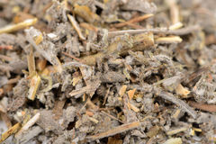 Dried Salvia Officinalis (Sage) Herb Close-Up Royalty Free Stock Photos