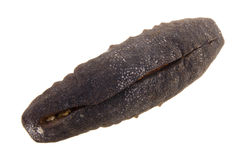 Dried sea cucumber close up Stock Image