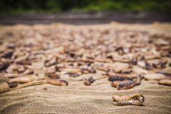 Dried Sea Cucumbers Stock Image