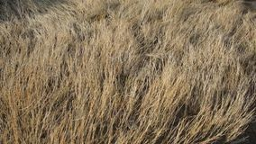 Dried sea grass blowing in the wind stock footage