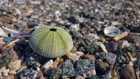Dried sea urchin shell Royalty Free Stock Photos