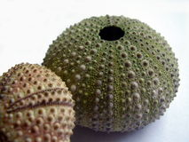 Dried sea urchins. A pair of dried sea urchins closeup Royalty Free Stock Images