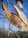 Dried seed pod Royalty Free Stock Photography