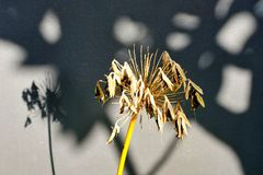 Dried and Seeding Agapanthus Flower. A dried and seeding Agapanthus flower with shadows cast on mushroom grey coloured rendered garden wall. Illustrates end of stock photos