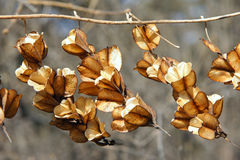 Dried shell Royalty Free Stock Image