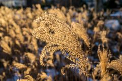 Dried silver grass in the field. Dried silver grass in winter with silver grass field as blurred background Royalty Free Stock Photo