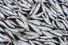 Dried small fish Stock Image