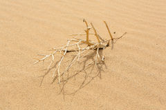 Dried small tree in the Gobi Desert, Mongolia Royalty Free Stock Photography