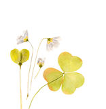 Dried sorrel, common with flowers for herbarium. Dried plants for a herbarium on white background isolated royalty free stock image