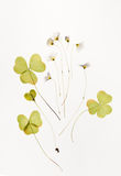 Dried sorrel, common with flowers for herbarium. Dried plants for a herbarium on white background isolated royalty free stock photography