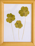 Dried specimens of clover Stock Images