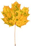 Dried spotted maple leaf Royalty Free Stock Photo