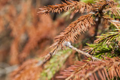 Dried spruce, close-up Royalty Free Stock Photography