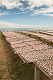 Dried Squid. Squids drying in the Sun in a fishermen village in southern Thailand Stock Images