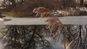 The dried stalk of reeds on the shore of a freezing lake. With thin ice near the shore and reflected in it coastal trees without leaves stock video footage