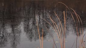 Dried cattail and freezing lake. Dried stalks of cattail swings on the autumn wind against the backdrop of a bank of thin ice covered lake stock video footage
