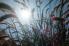 The sun`s rays shining through the dry reed grass. Stock Photography