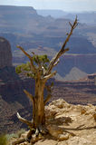 Dried standing tree at grand canyon ledge Stock Image