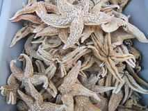 Dried starfish. Used in traditional Chinese medicine Royalty Free Stock Images