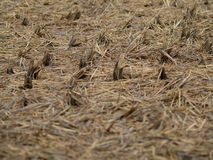 Dried Steams on Field. The stems of the padi on the flat land after the harvest season Stock Images