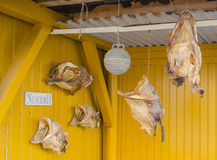 Dried stockfish in Nusfjord. Dried stockfish in the fishing village of Nusfjord, Lofoten Islands Norway royalty free stock image