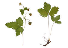 Dried strawberry branch with the root isolated. Extruded pressed leaves. Royalty Free Stock Photo