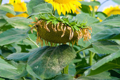 Dried sunflower Stock Image