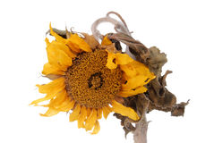 Dried sunflower Stock Photo