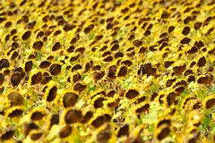Dried sunflower field Royalty Free Stock Images