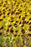 Dried sunflower field Royalty Free Stock Image