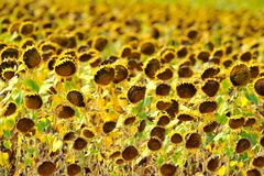 Dried sunflower field Royalty Free Stock Photos