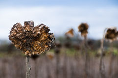 Dried sunflower field Stock Image