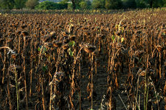 A dried sunflower field Stock Images