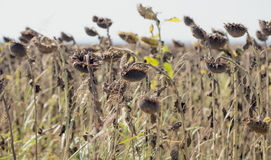 Dried sunflower field with the sun in the background Royalty Free Stock Photos