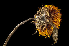 Dried sunflower illuminated by strong sidelight Royalty Free Stock Photos